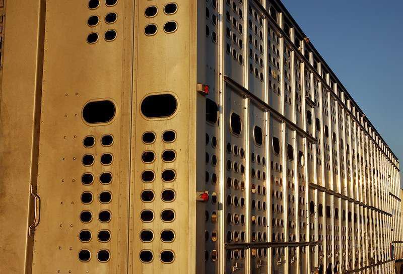 FMCSA extends hours-of-service break exemption for livestock haulers