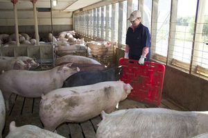 "Maggie Stone sings Homer Simpson's ""Spider-Pig"" song to unload 300-lb. swine"